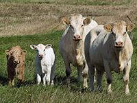 Корова и теленок