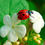 Ladybird – божья коровка
